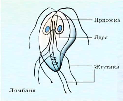 цитварное семя от паразитов правильный прием